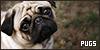 Dogs: Pugs: